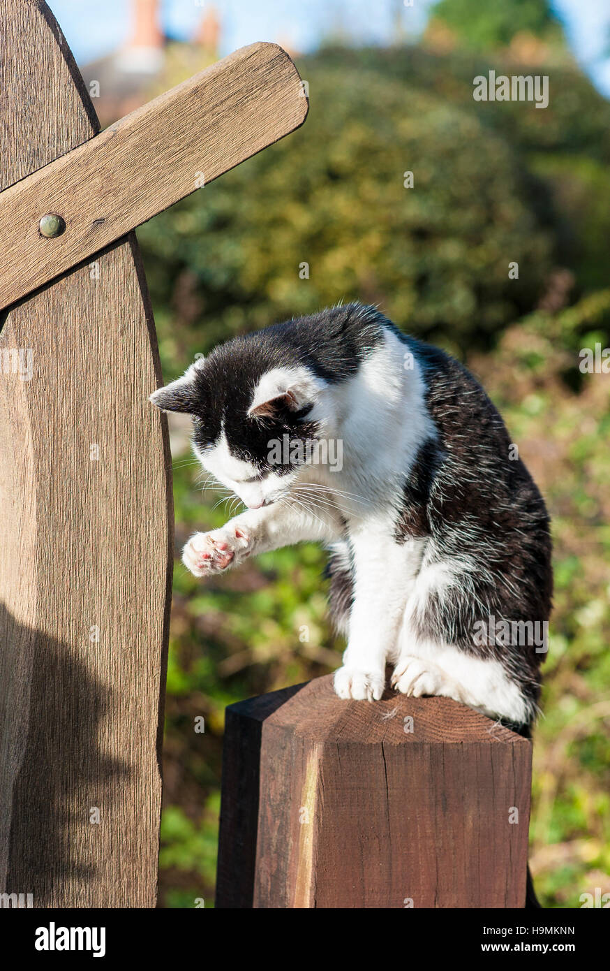 Black and white cat on a garden gate-post self-cleaning her coat - Stock Image