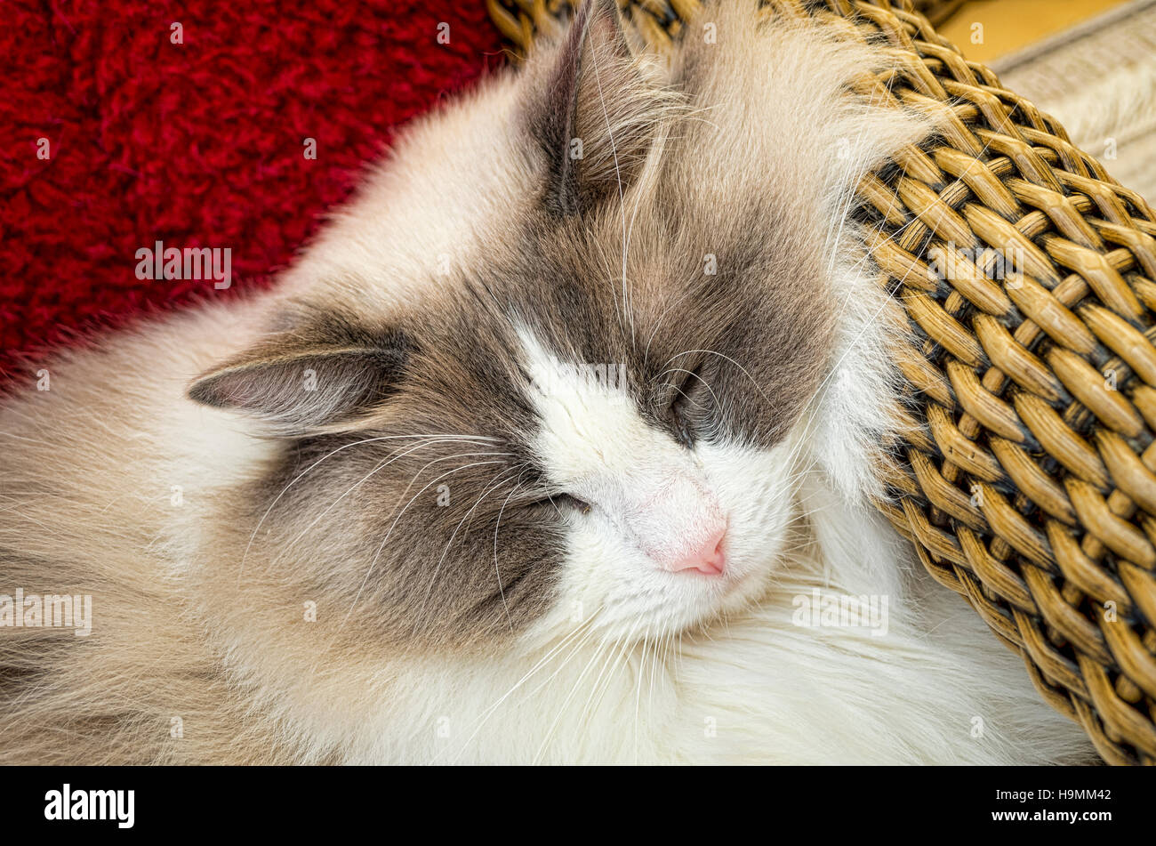 A Ragdoll cat dozing in a conservatory chair - Stock Image