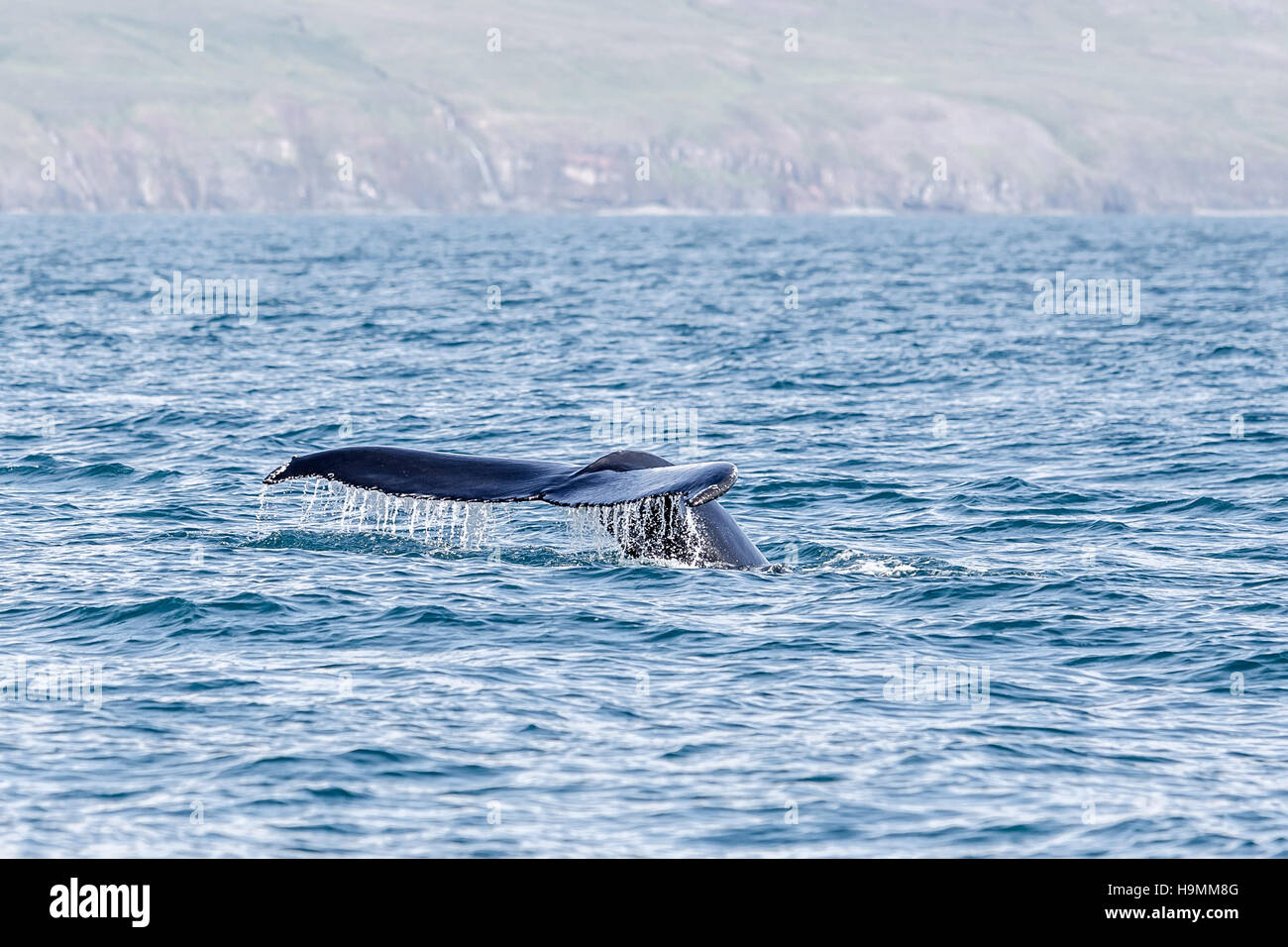 Whale watching, Iceland, Humpback whale, Megaptera Novaeangliae, Hnufubakur, Sea, seaside, fin, flipper - Stock Image