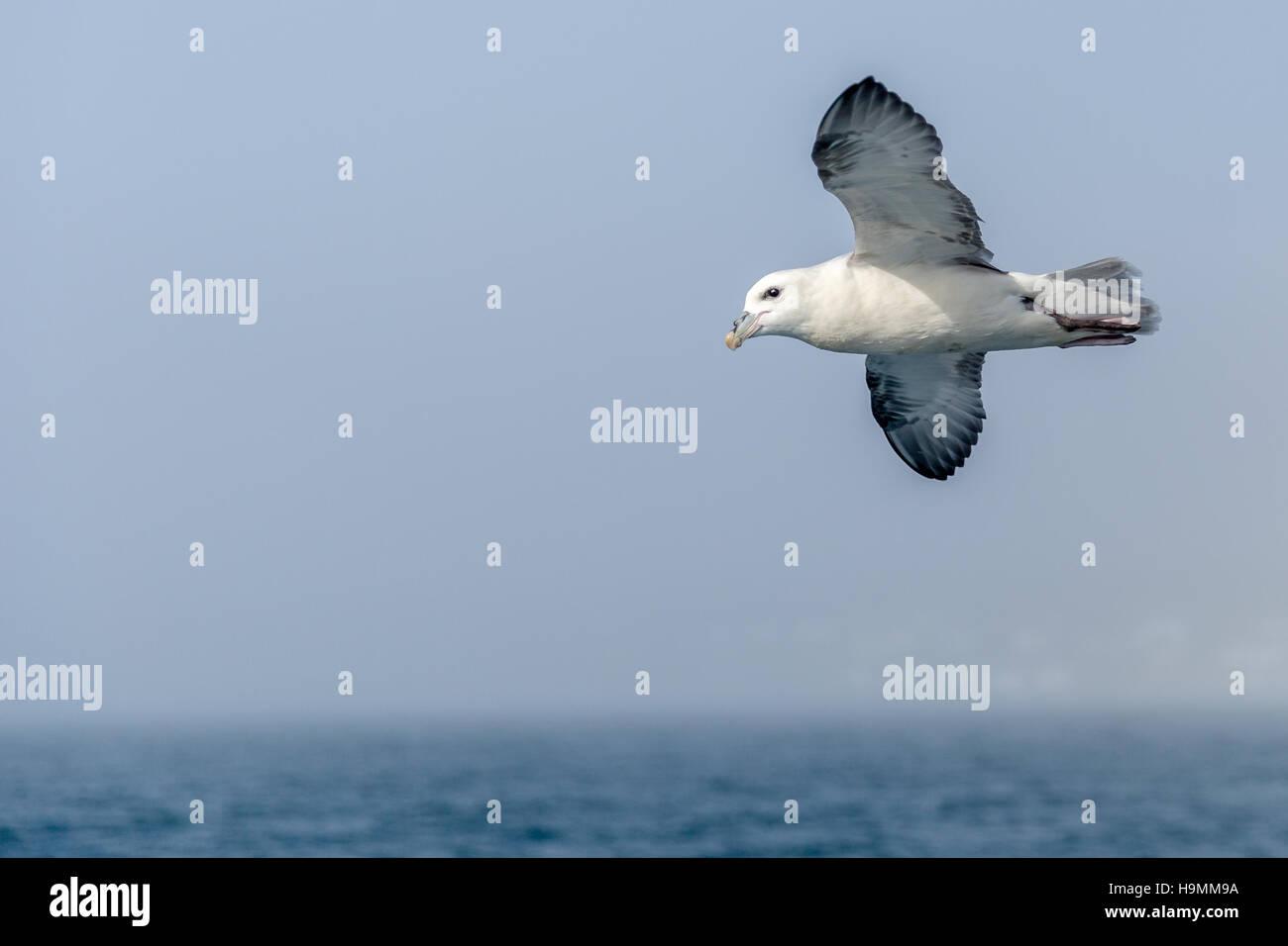 Gull, seagull, seabird, family Laridae, suborder Lari, sea, details - Stock Image