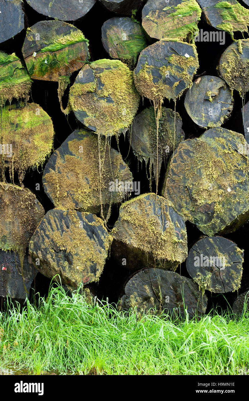 Moss grows on treetrunks in timber processing plant, Templin, Uckermark district of Brandenurg, Germany. - Stock Image