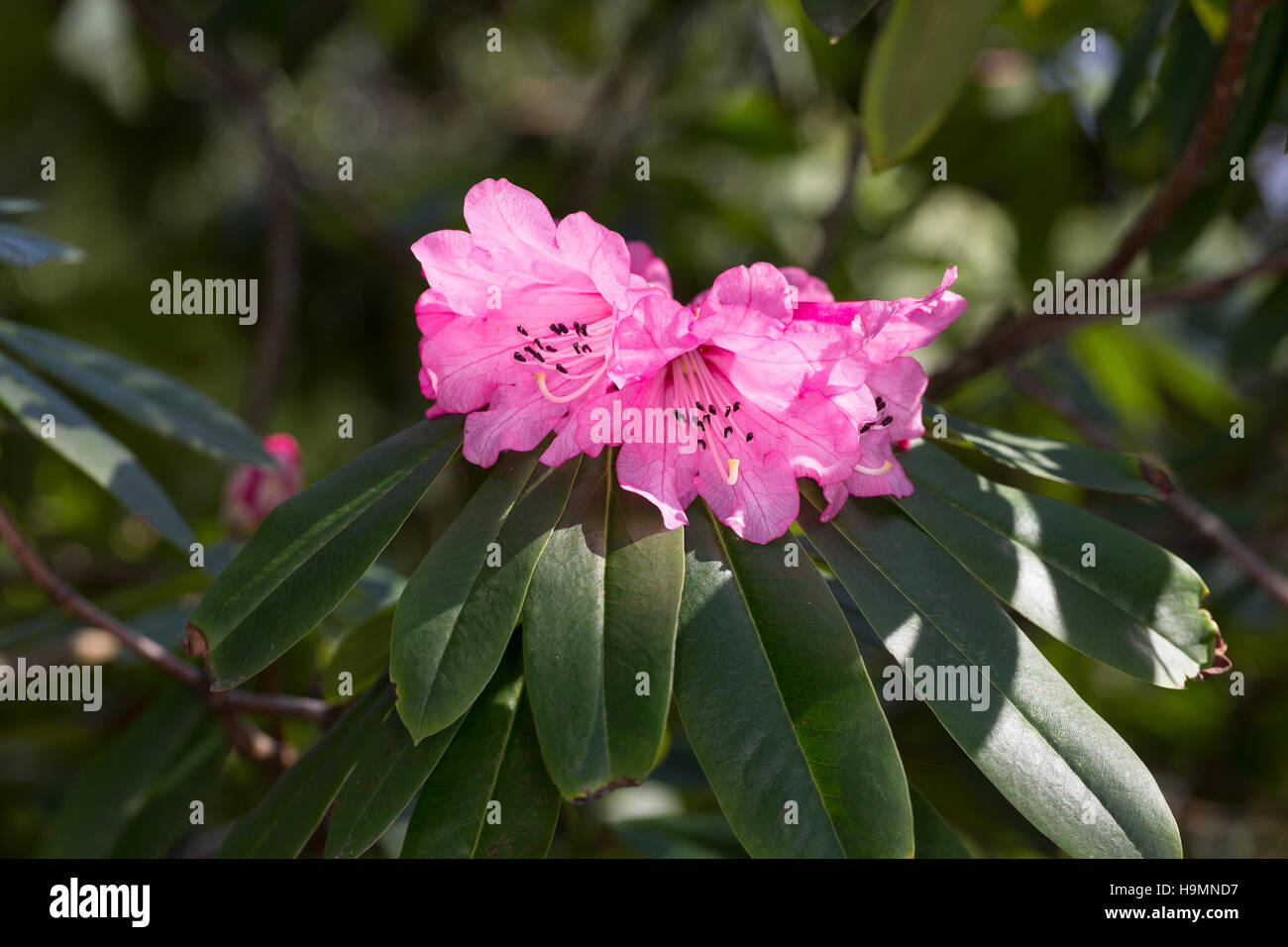 Rhododendron Wildart, Rhododendron anthosphaerum - Stock Image