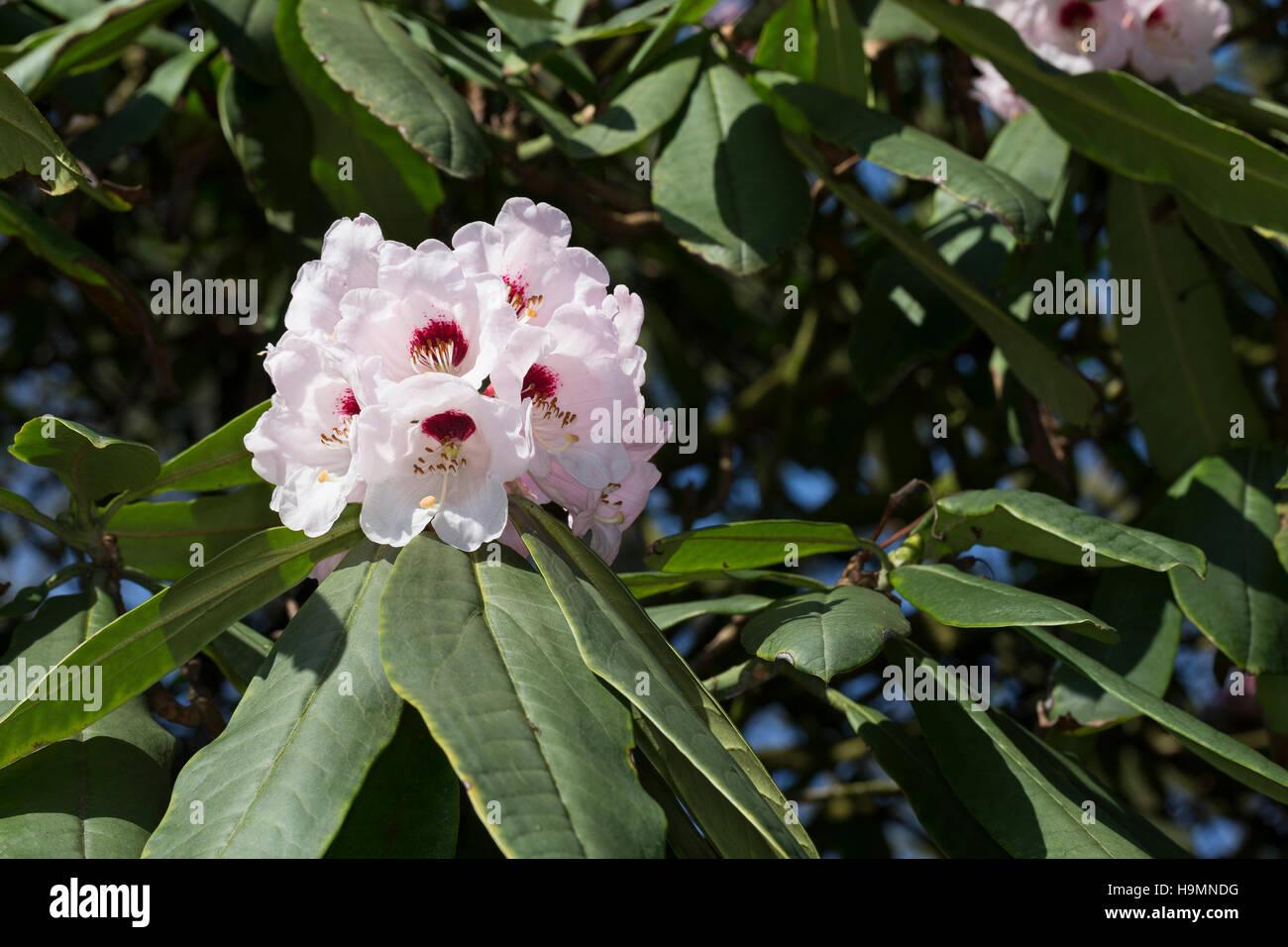 Schöner Rhododendron, Schönes Rhododendron, Rhododendron, Rhododendron Wildart, Rhododendron calophytum, - Stock Image