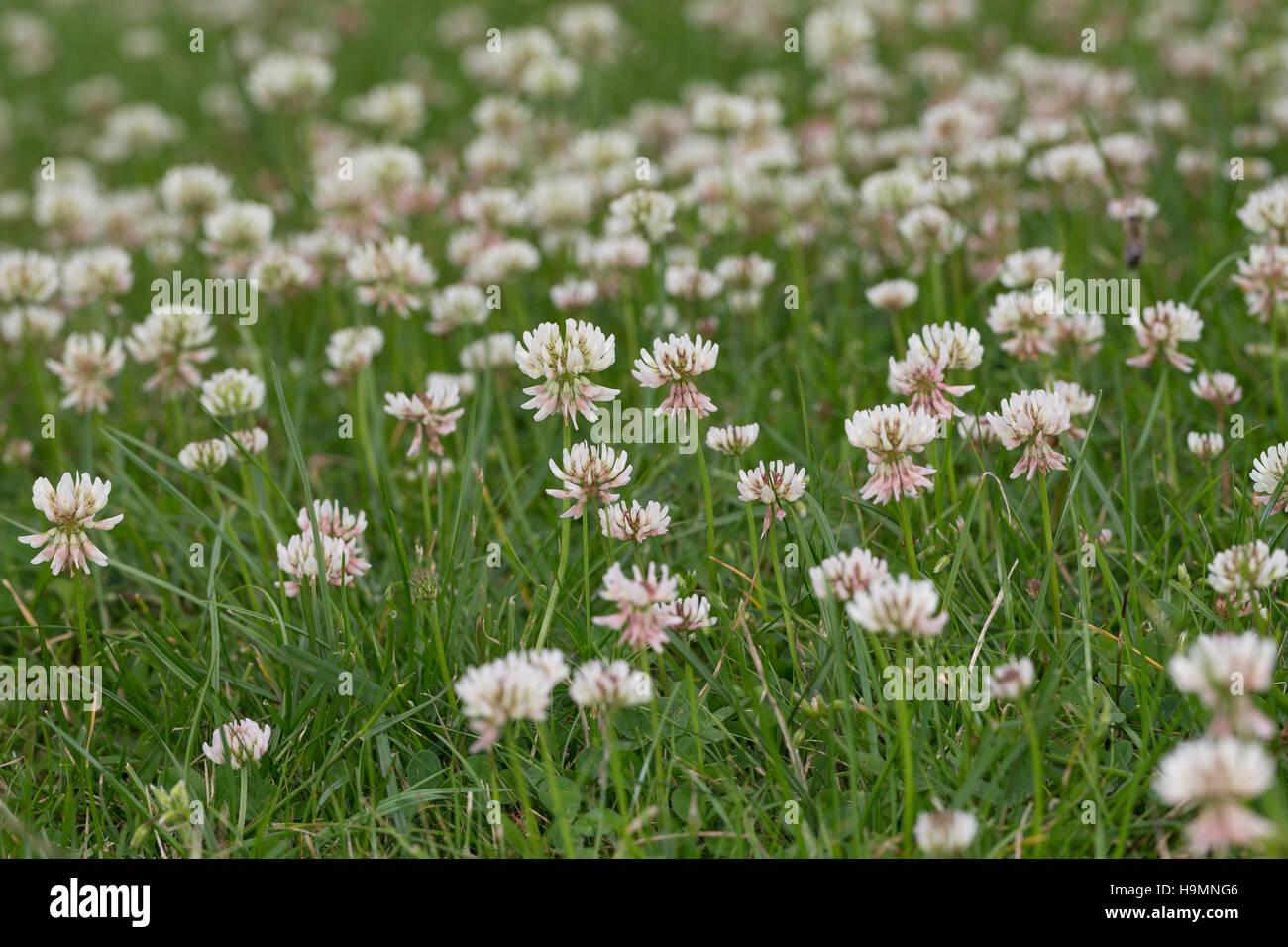 Weiss-Klee, Weissklee, Weiß-Klee, Weißklee, Kriech-Klee, Kriechklee, Klee, Trifolium repens, Ladino Clover, - Stock Image