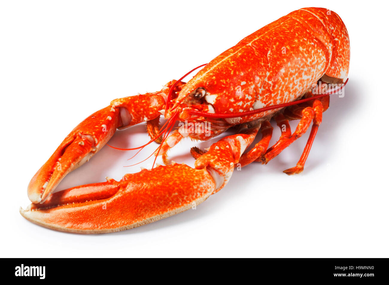 Lobster - John Gollop - Stock Image