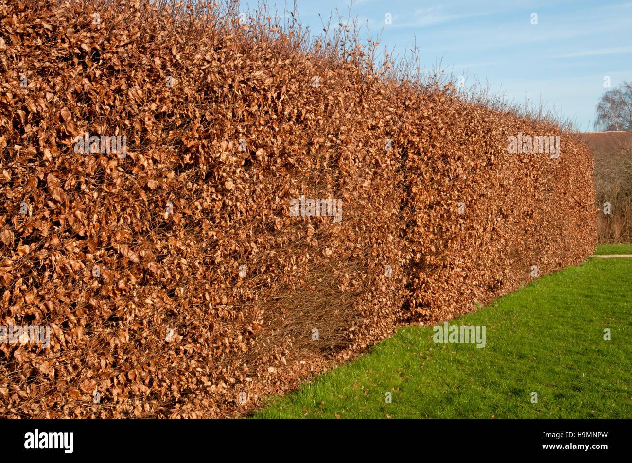 FAGUS SYLVATICA HEDGE IN WINTER Stock Photo