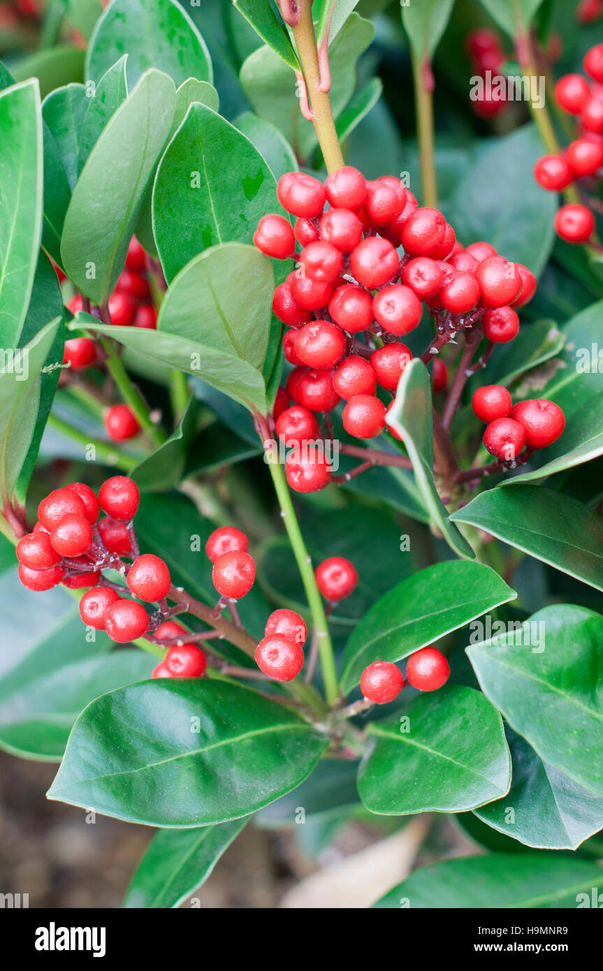 SKIMMIA JAPONICA OBSESSION CLOSE-UP OF WINTER BERRIES - Stock Image
