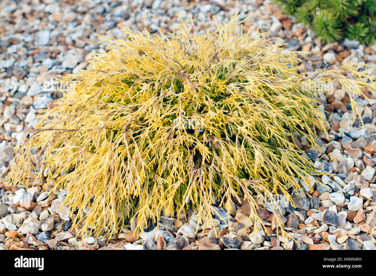 CHAMAECYPARIS OBTUSA RASHAHIBA PLANTED IN A GRAVEL BED - Stock Image