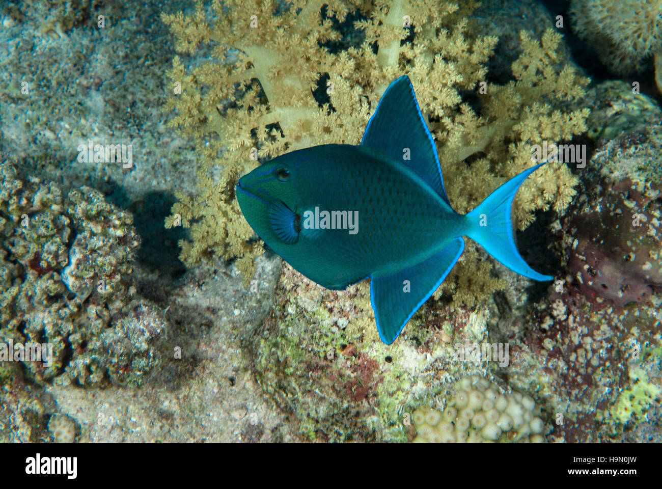 Redtooth Triggerfish, Odonus niger, Balestidae, Red Sea, Sharm el-Sheikh, Egypt Stock Photo