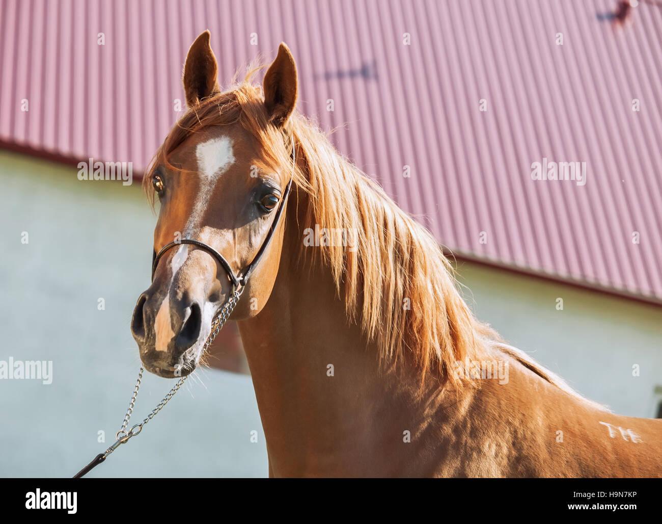 portrait of  beautiful sorrel young arabian colt - Stock Image