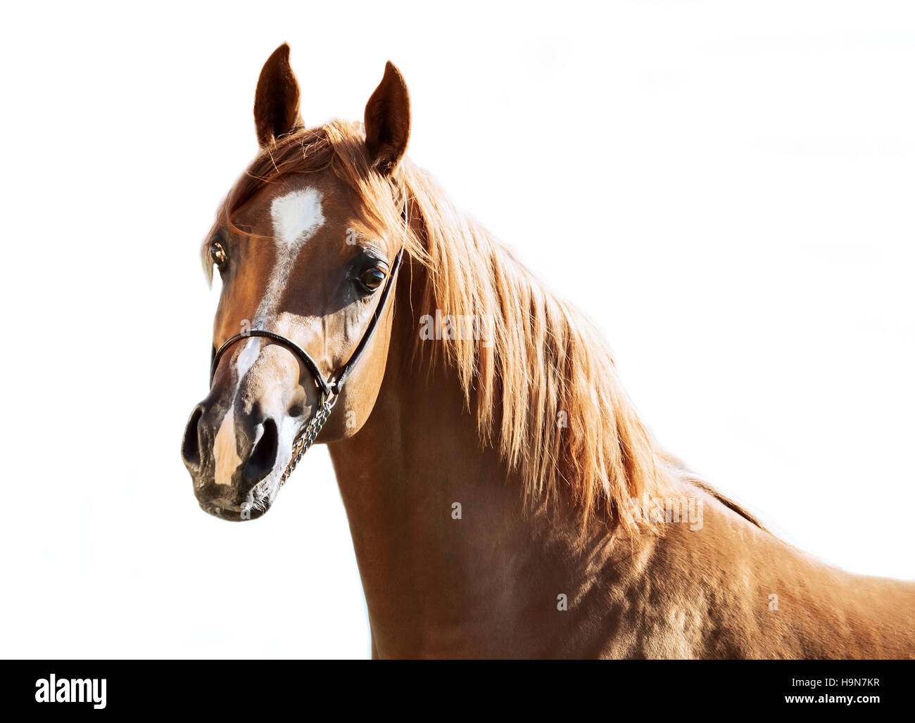 portrait of  sorrel young arabian colt at white background - Stock Image