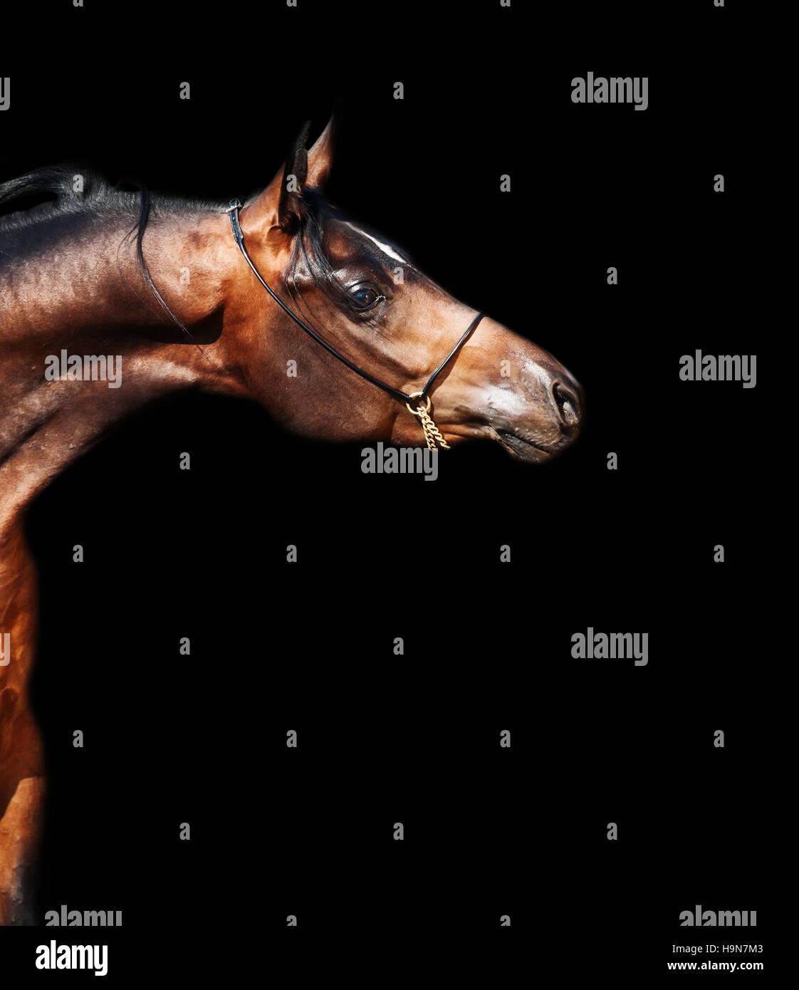 portrait  of beautiful  bay arabian colt at black background - Stock Image
