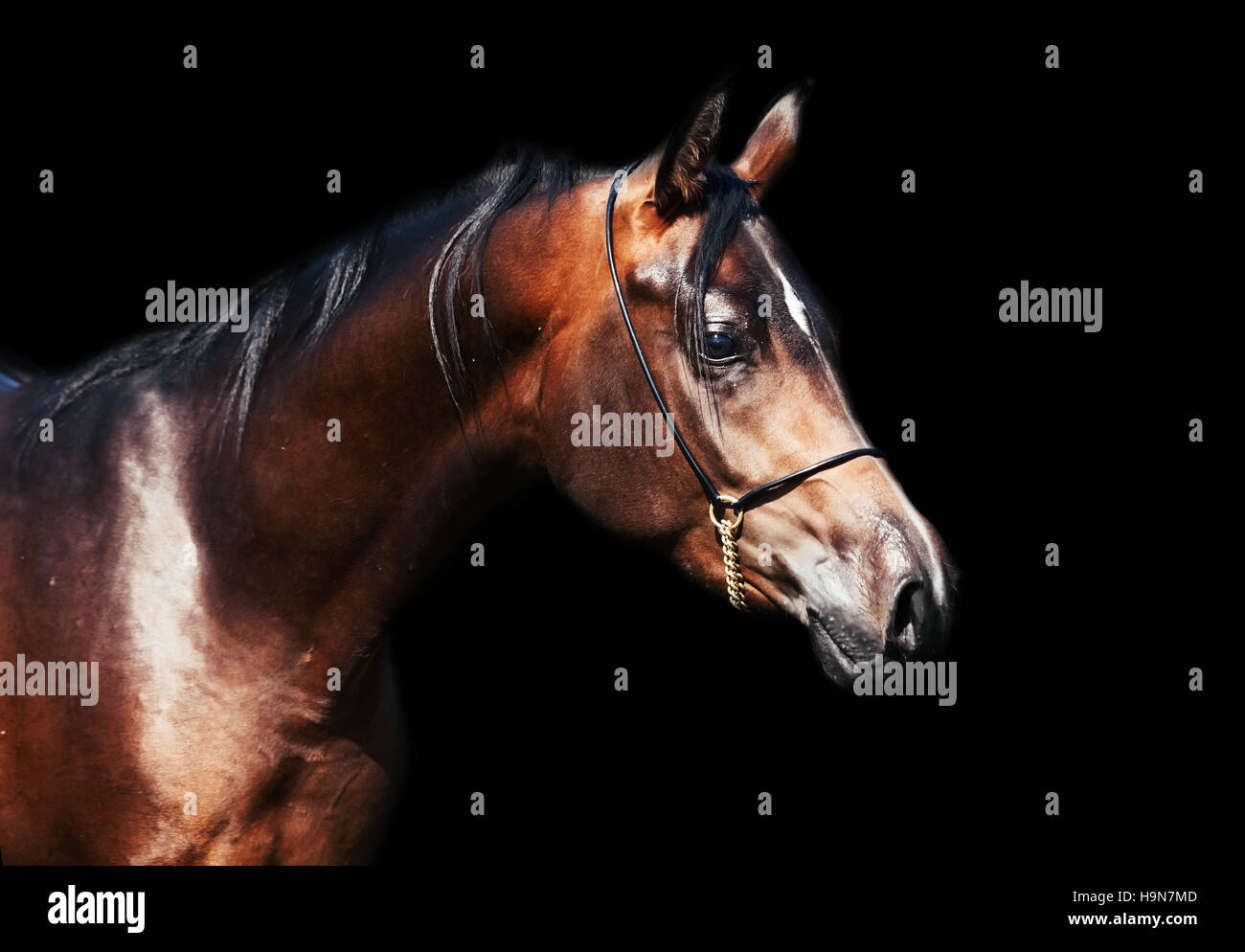 portrait  of beautiful  bay arabian colt - Stock Image