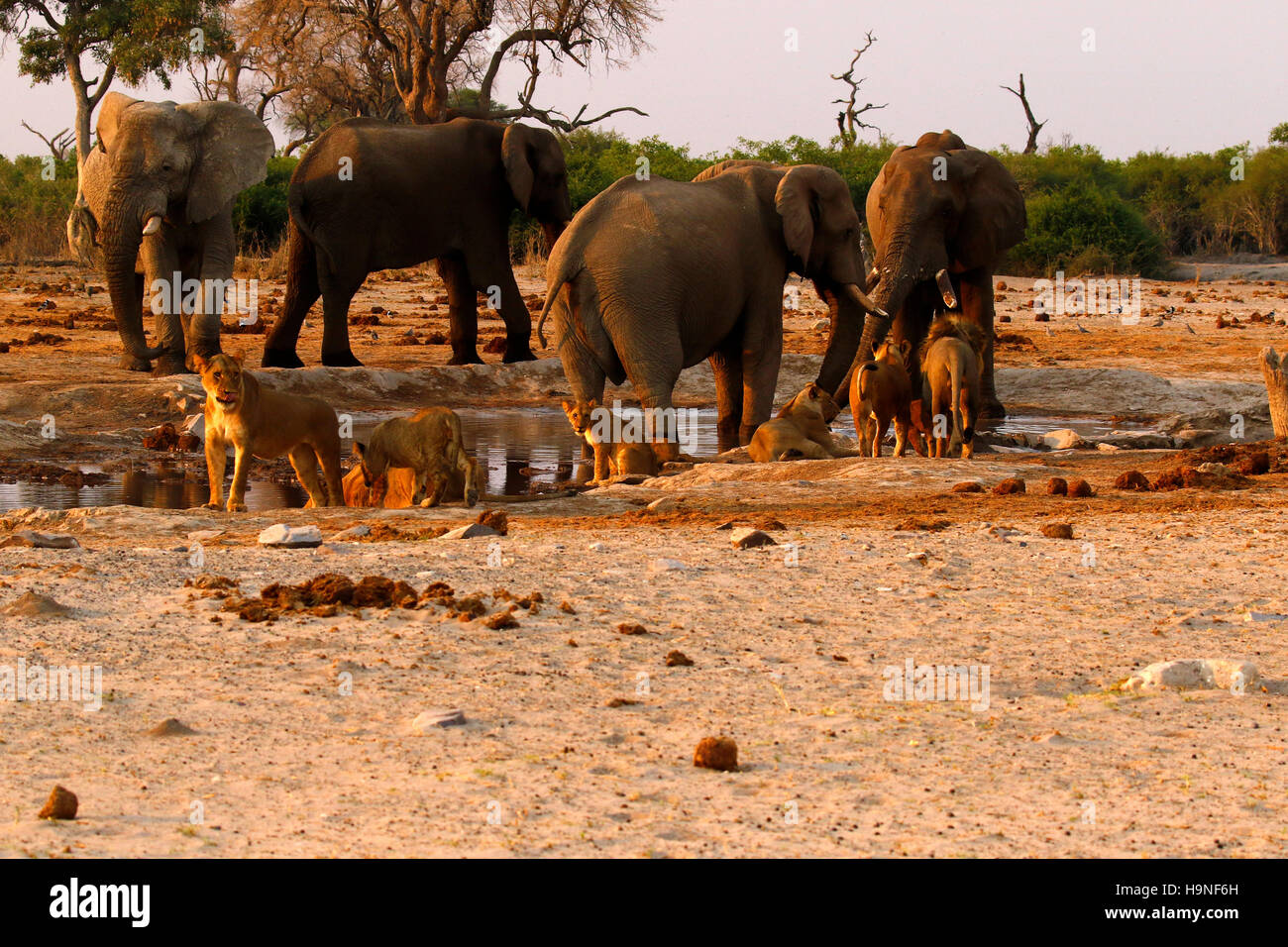 A pride of lions very close to a herd of elephants during a drought at Pump Pan Savuti Botswana Stock Photo