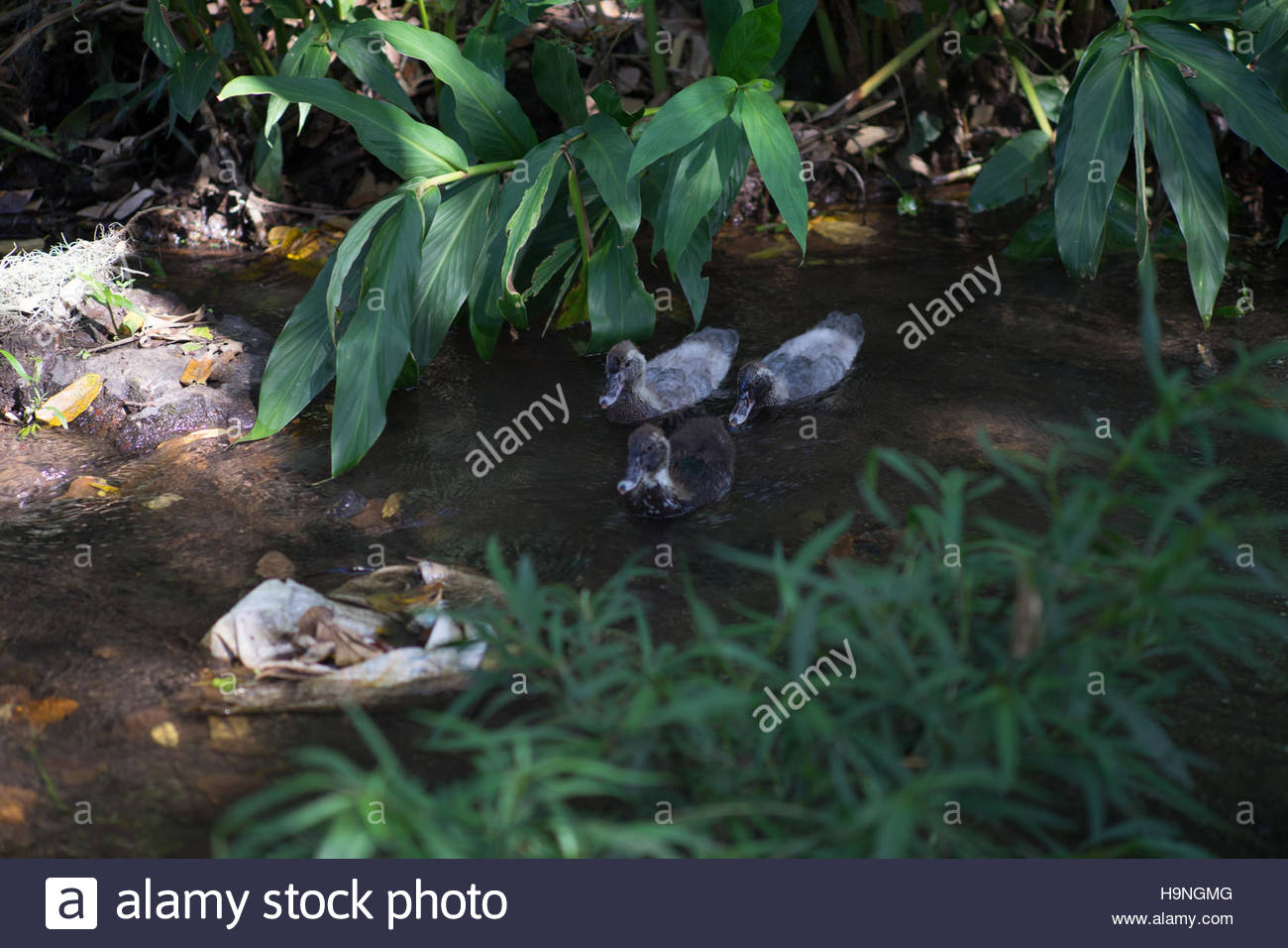 Three half grown ducklings swimming in a Nicaragua coffee country stream. - Stock Image