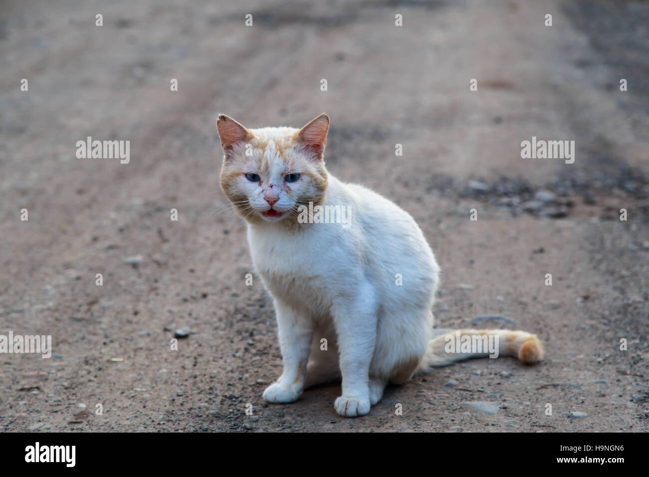 White cat on a village road - Stock Image