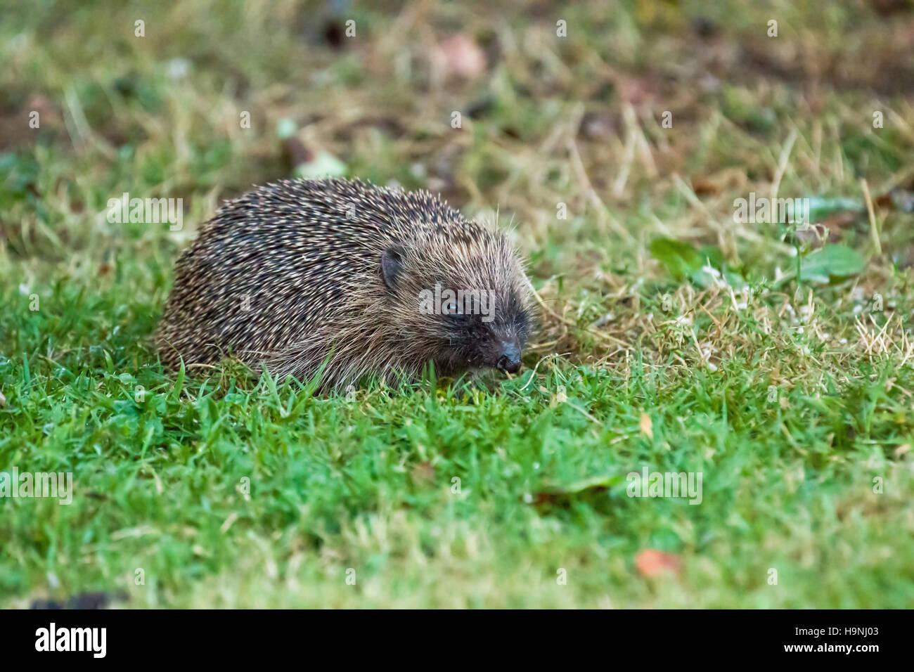 European Hedgehog in garden. Stock Photo