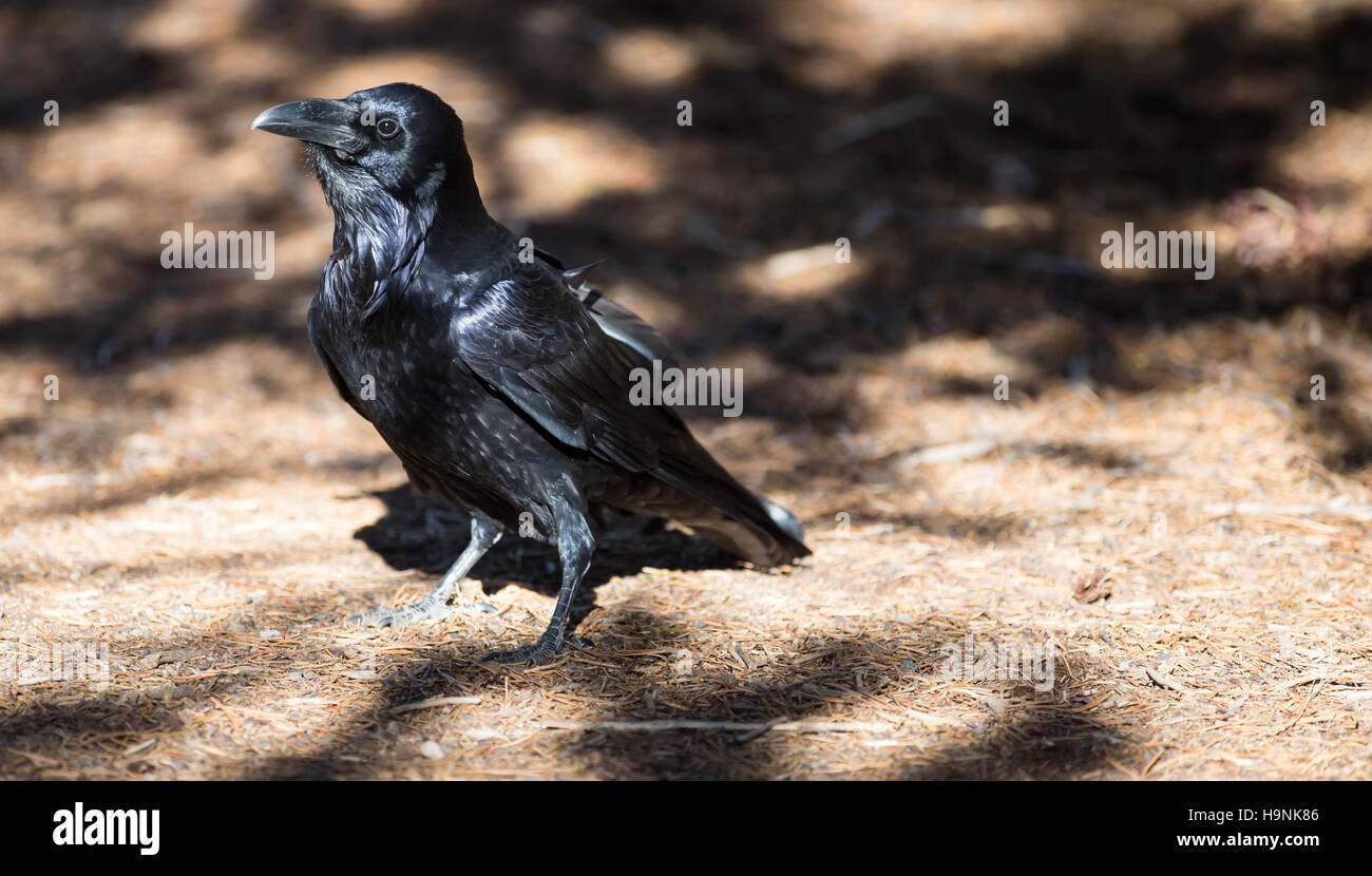 Black raven in the Yellowstone National Park, USA - Stock Image