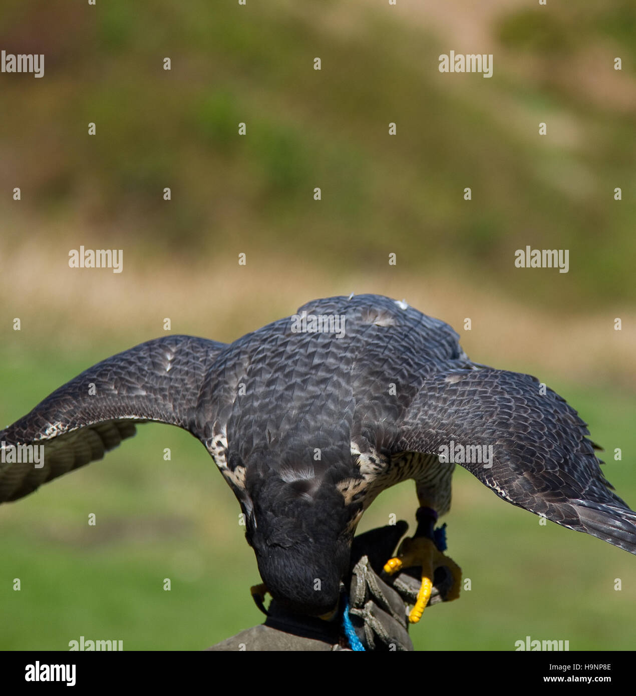 Front view of a falcon eating with wings open. Shot at the Grouse Mountain in Vancouver, Canada - Stock Image