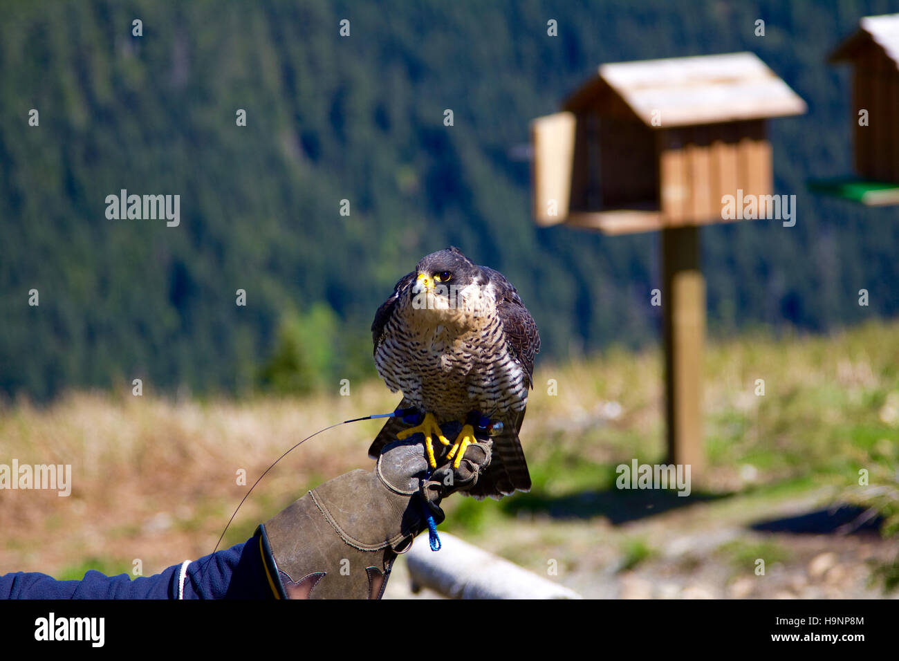 A falcon sitting on a handler's hand at the Grouse Mountain in Vancouver, Canada. A bird house is in the background. - Stock Image