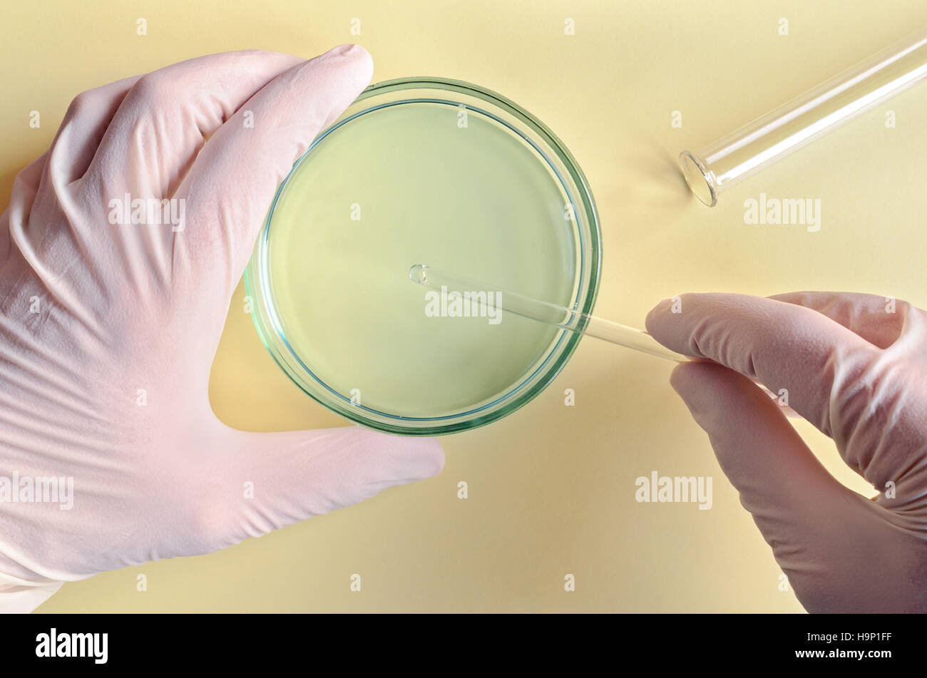 Chemical research in Petri dishes on blue background. Researcher preparing color plates in a microbiology laboratory. - Stock Image
