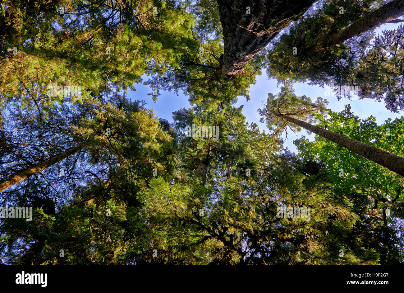 huge Douglas-fir trees in Cathedral Grove, MacMillan Provincial Park, Nanaimo, Vancouver Island, British Columbia, - Stock Image