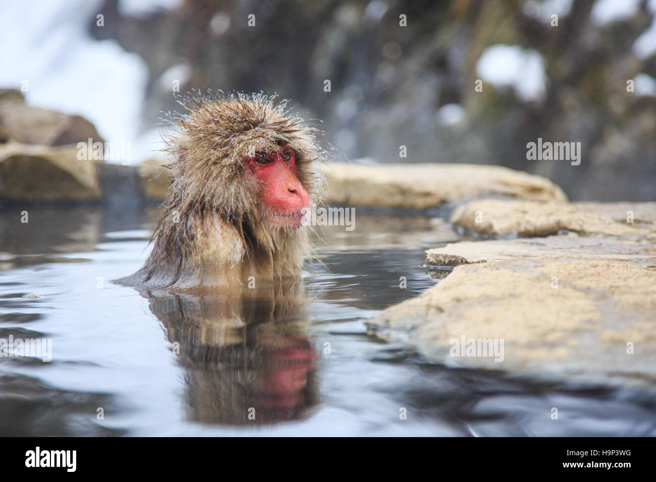 Snow monkey at a natural onsen (hot spring), located in Jigokudani Park, Yudanaka. Nagano Japan. - Stock Image