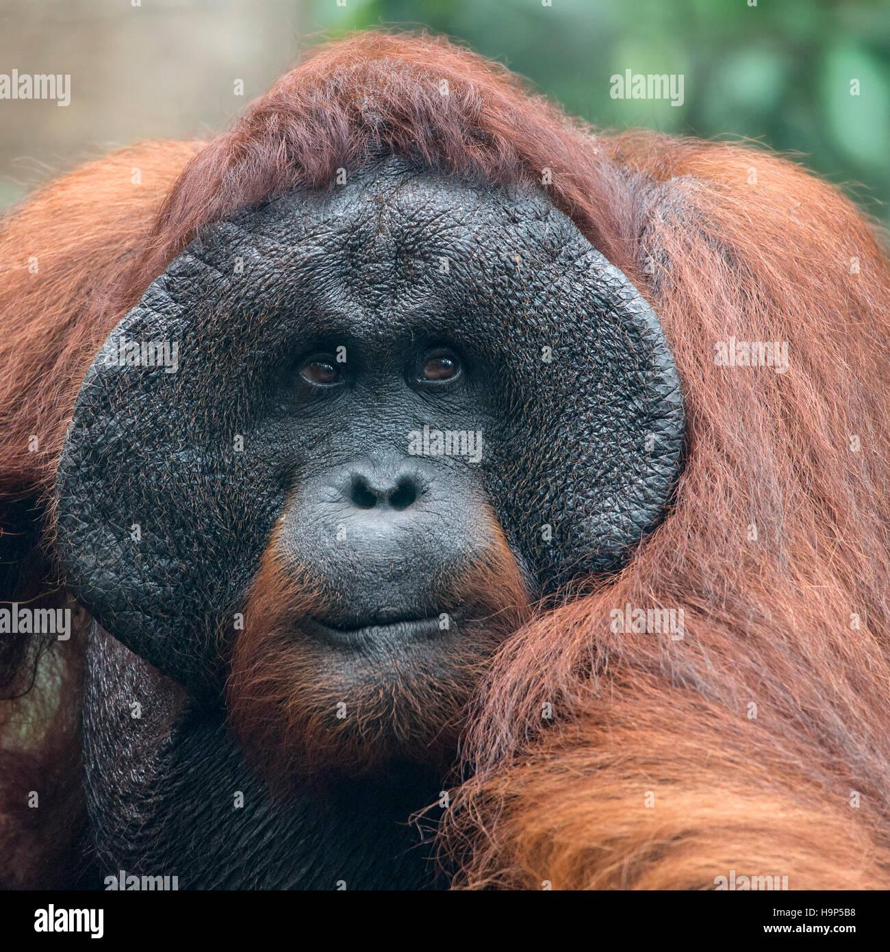 Portrait Male Bornean Orangutan - Stock Image