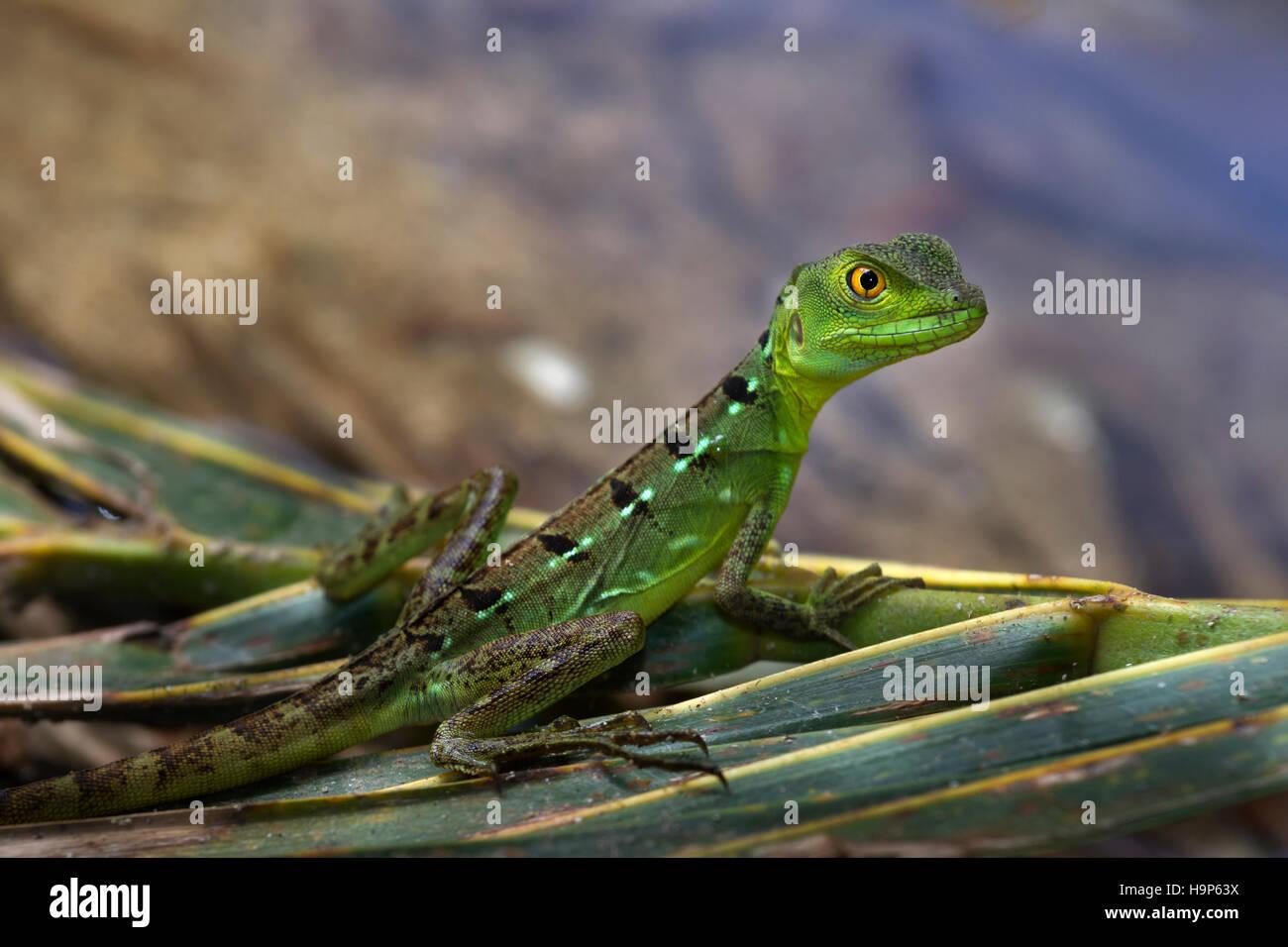 Plumed or green basilisk, Basiliscus plumifrons - Stock Image