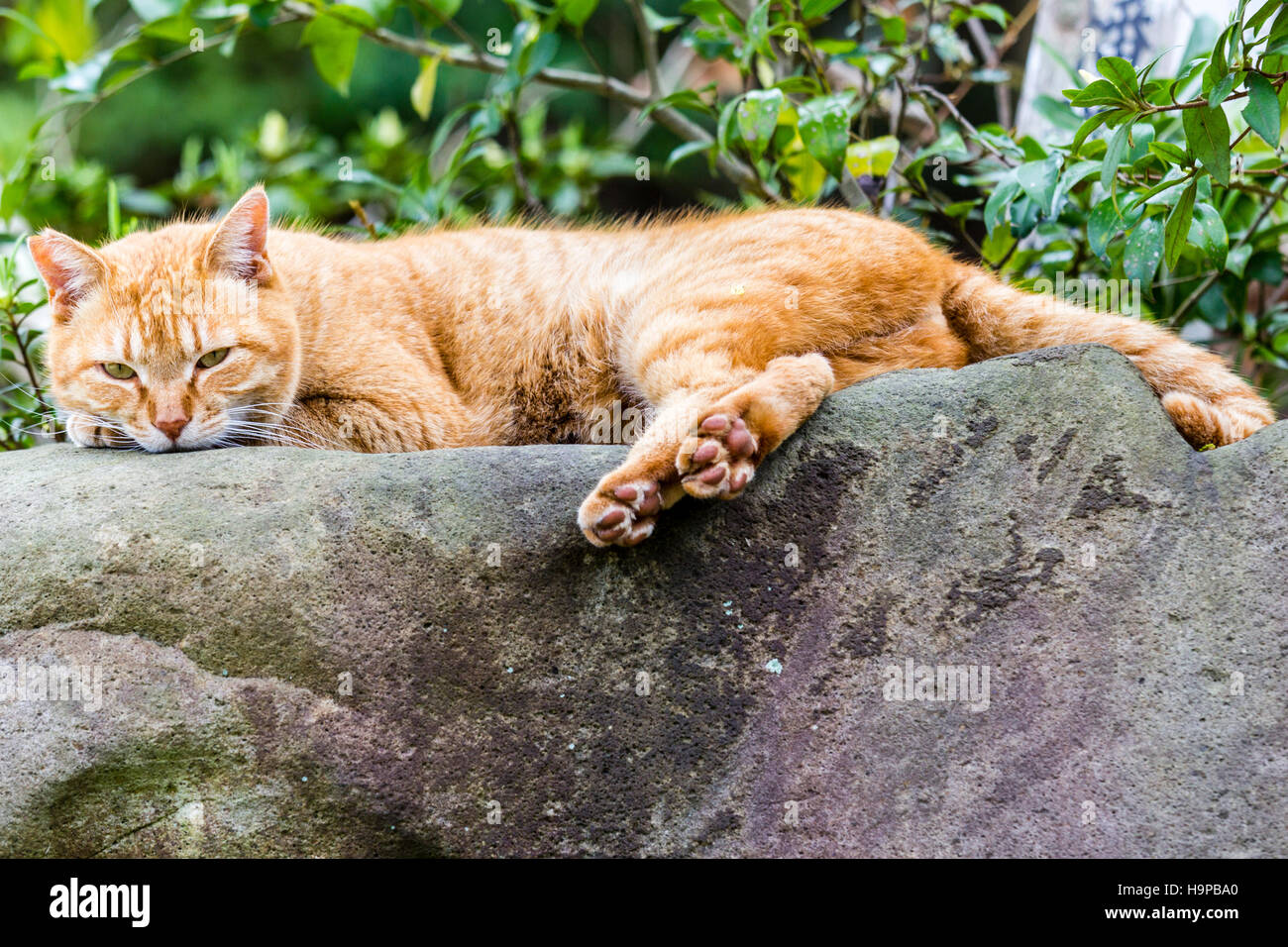 Japan, Akashi. Ginger cat resting by laying on top of large rock, stone. Side view, head facing. - Stock Image
