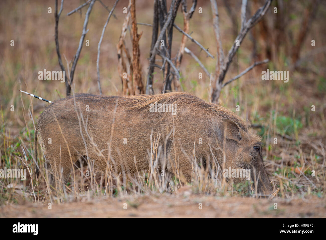 Warthog with a porcupine quill sticking out its rump - Stock Image