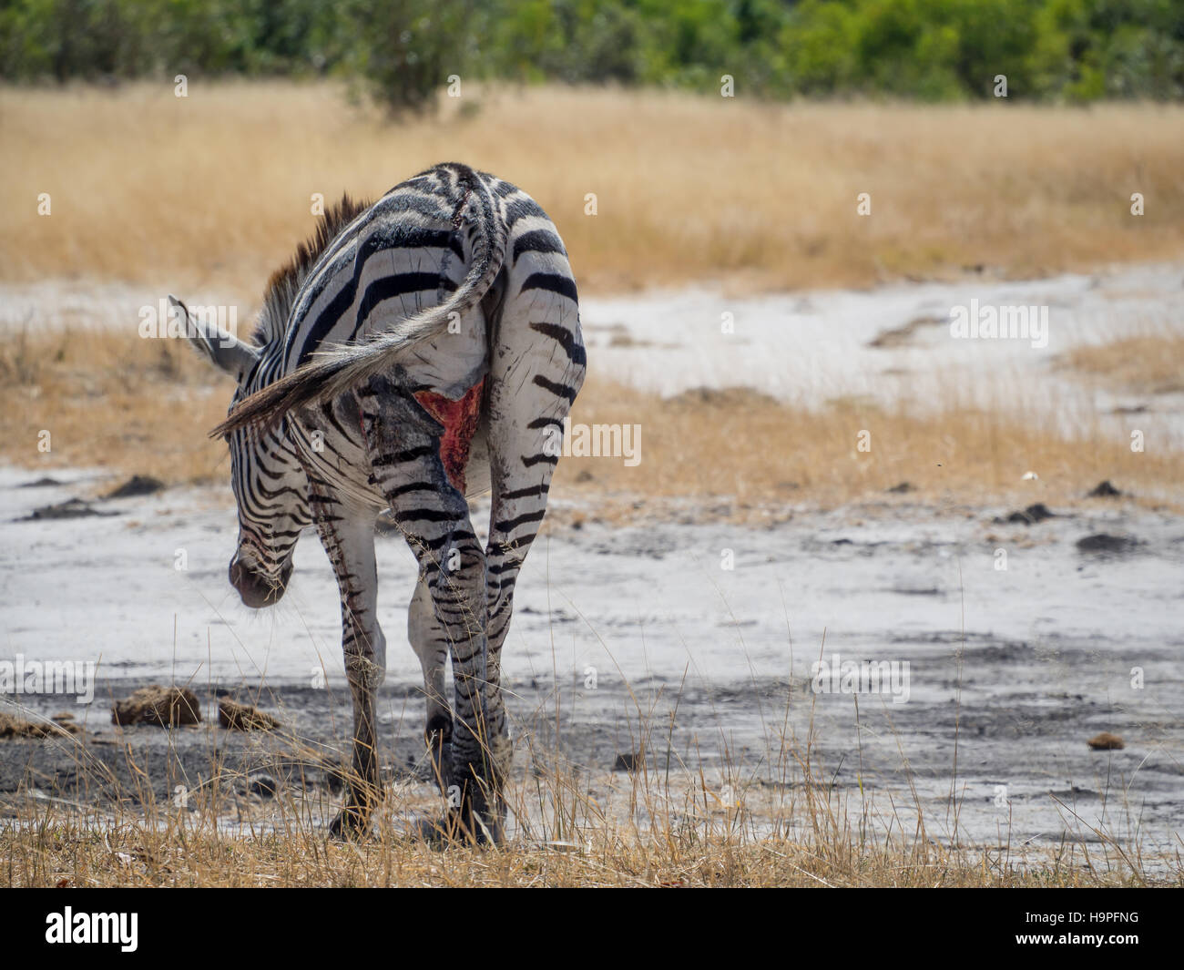 Heavily injured and wounded zebra walking and grazing in Moremi NP, Botswana, Africa - Stock Image