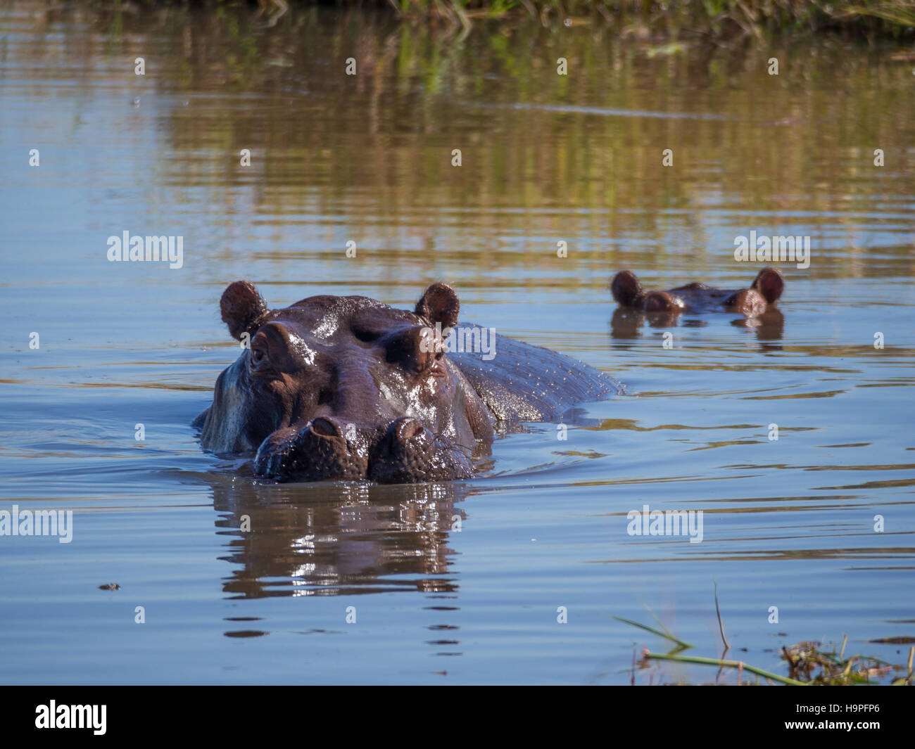 Two hippos almost completely submerged in water with only the heads sticking out, safari, in Moremi NP, Botswana - Stock Image