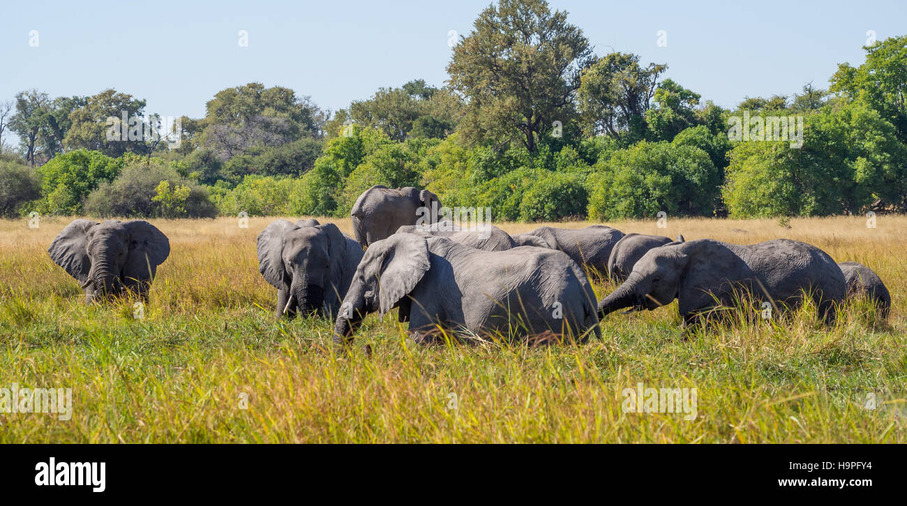 Large herd of African elephants grazing in tall river grass with green trees in background, safari in Moremi NP - Stock Image