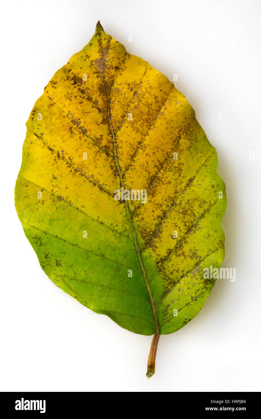 Leaf turning brown in autumn - Stock Image