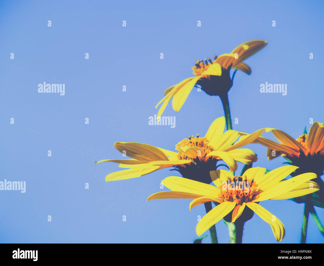 Bright yellow flowers on blue sky - Stock Image
