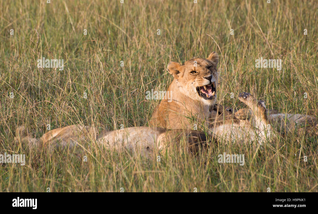 A pride of lions resting in the tall grass with one lioness above another snarling with her mouth open and fangs - Stock Image