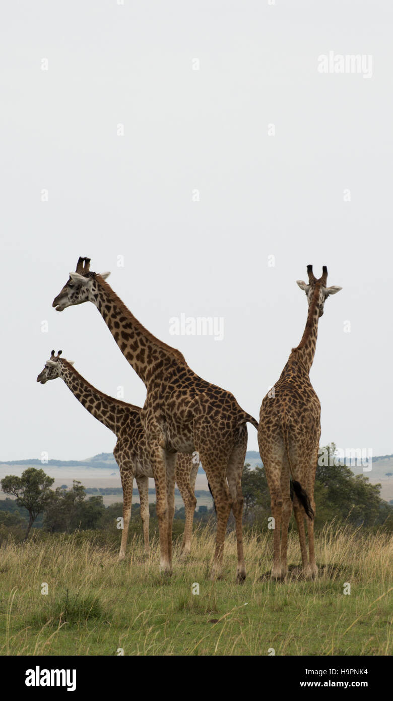 Three Rothschild's giraffes shown in entirety with their backs to the camera. Two are looking left, the third - Stock Image