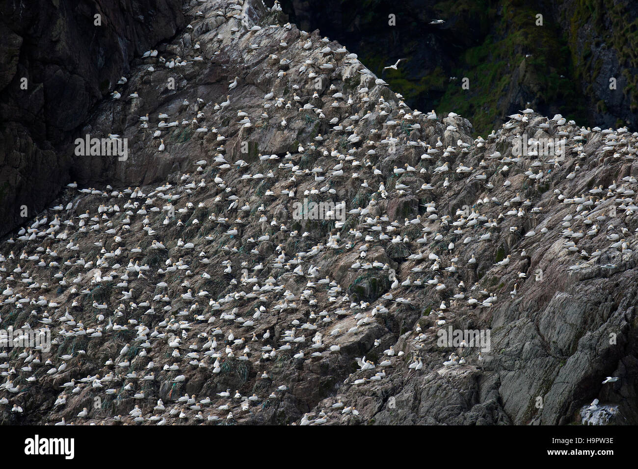 Gannetry, breeding colony of Northern gannets (Morus bassanus / Sula bassana) on Outer Stack, Fair Isle, Shetland, Stock Photo