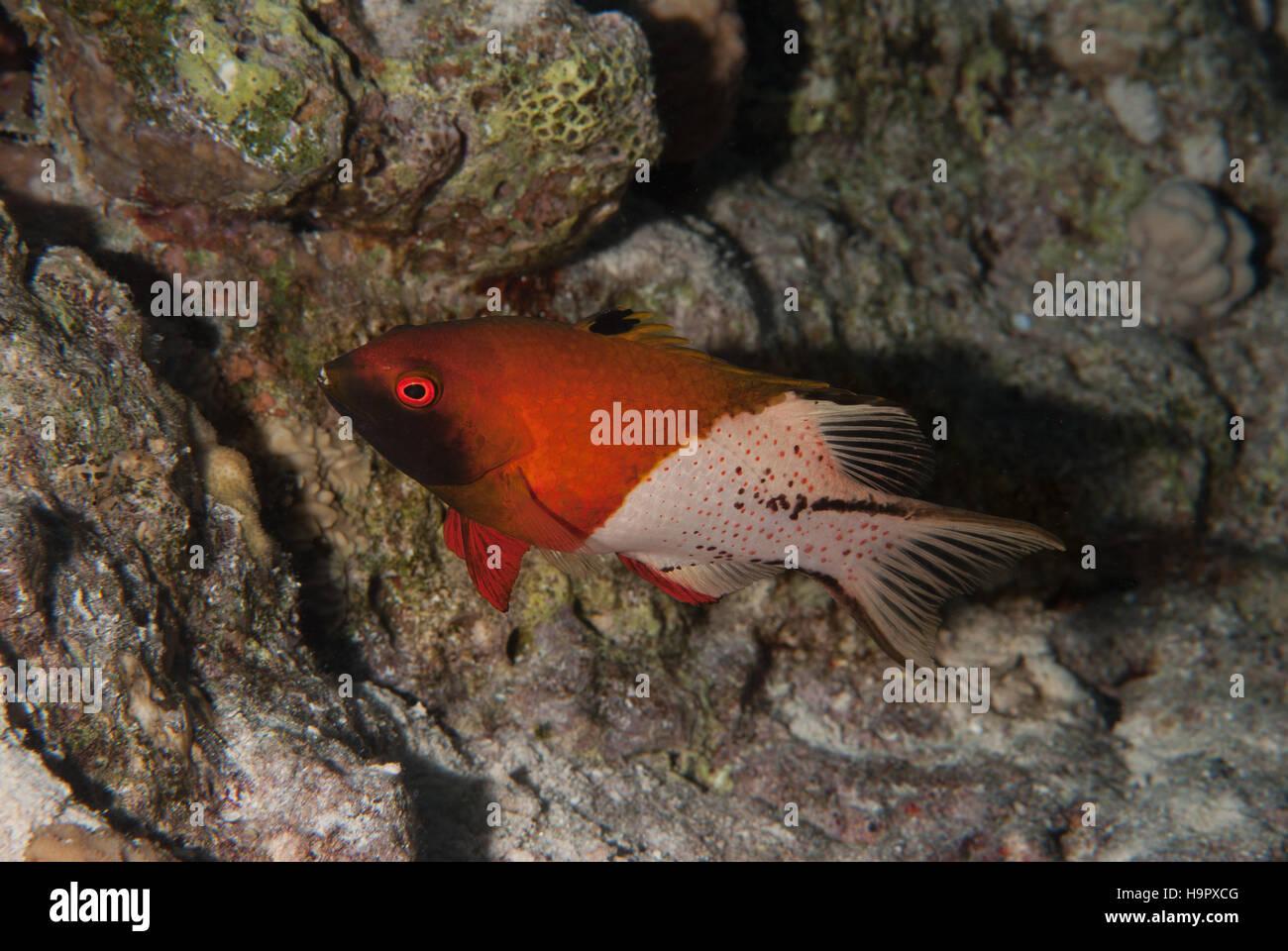 Lyretail hogfish, Bodianus anthioides, Labridae, Sharm el Sheikh, Red Sea, Egypt - Stock Image