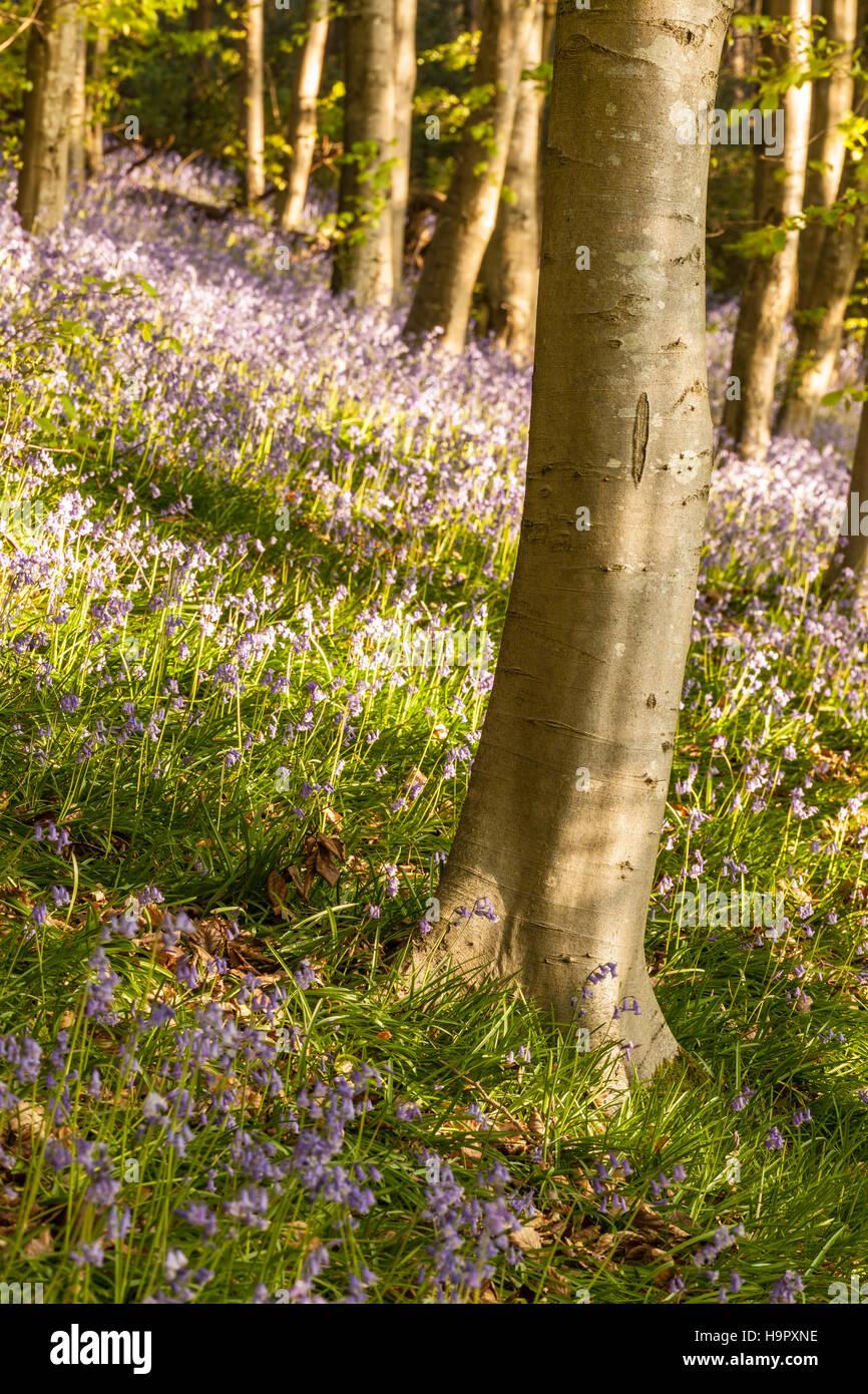 Bluebells on Langdon Hill, Dorset, England, UK. - Stock Image
