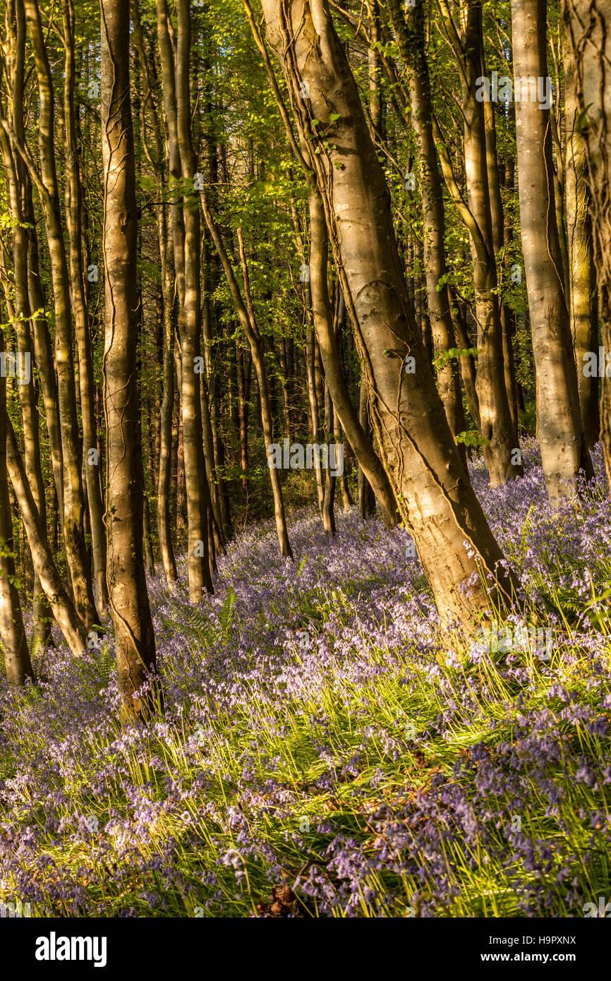 Bluebells on Langdon Hill, Dorset. - Stock Image