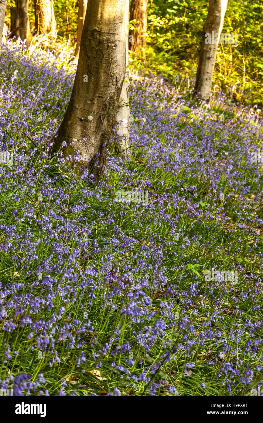 Langdon Hill, Dorset, England, UK. - Stock Image