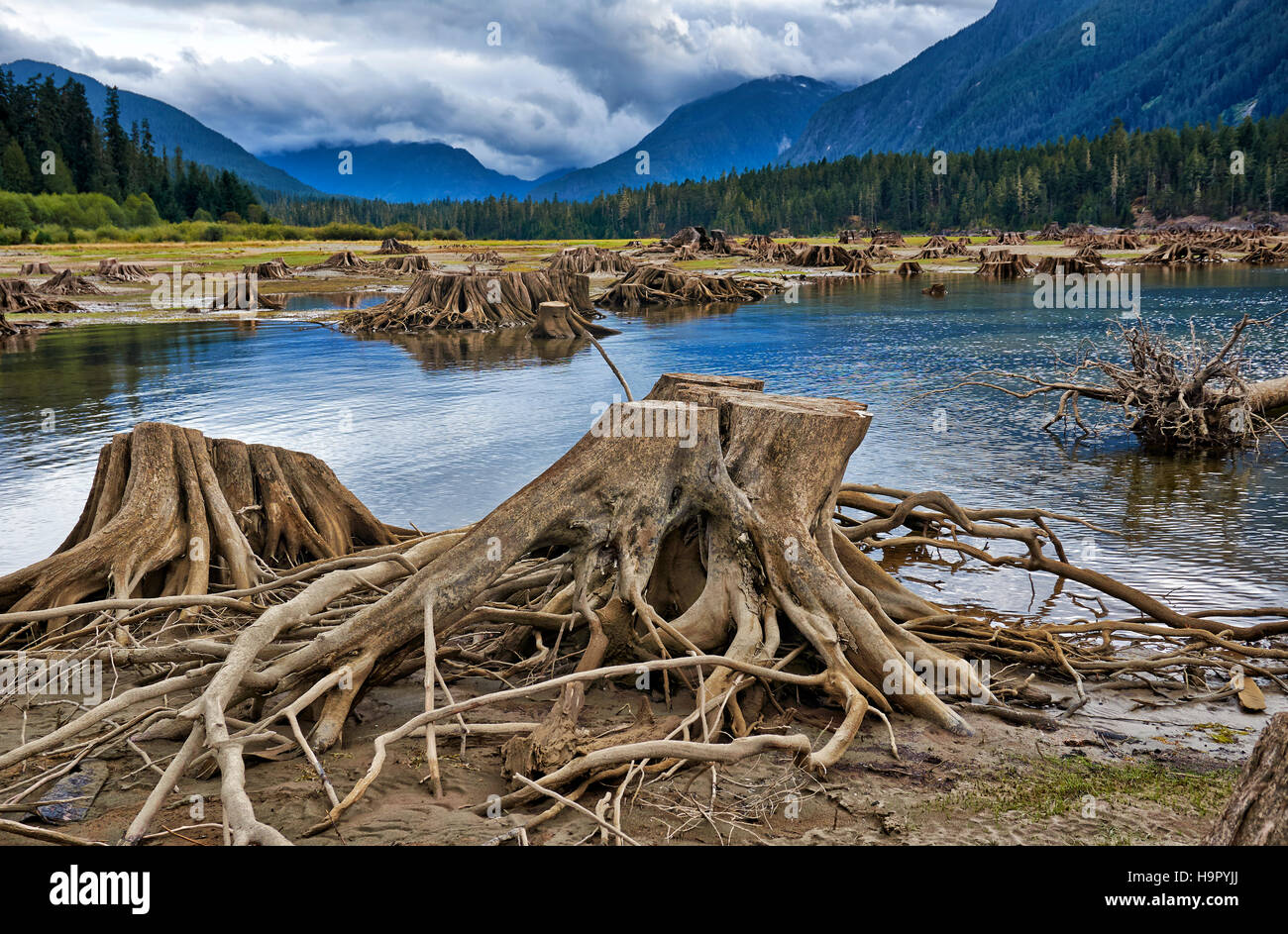tree roots in Buttle Lake of Strathcona Provincial Park, Vancouver Island, British Columbia, Canada - Stock Image
