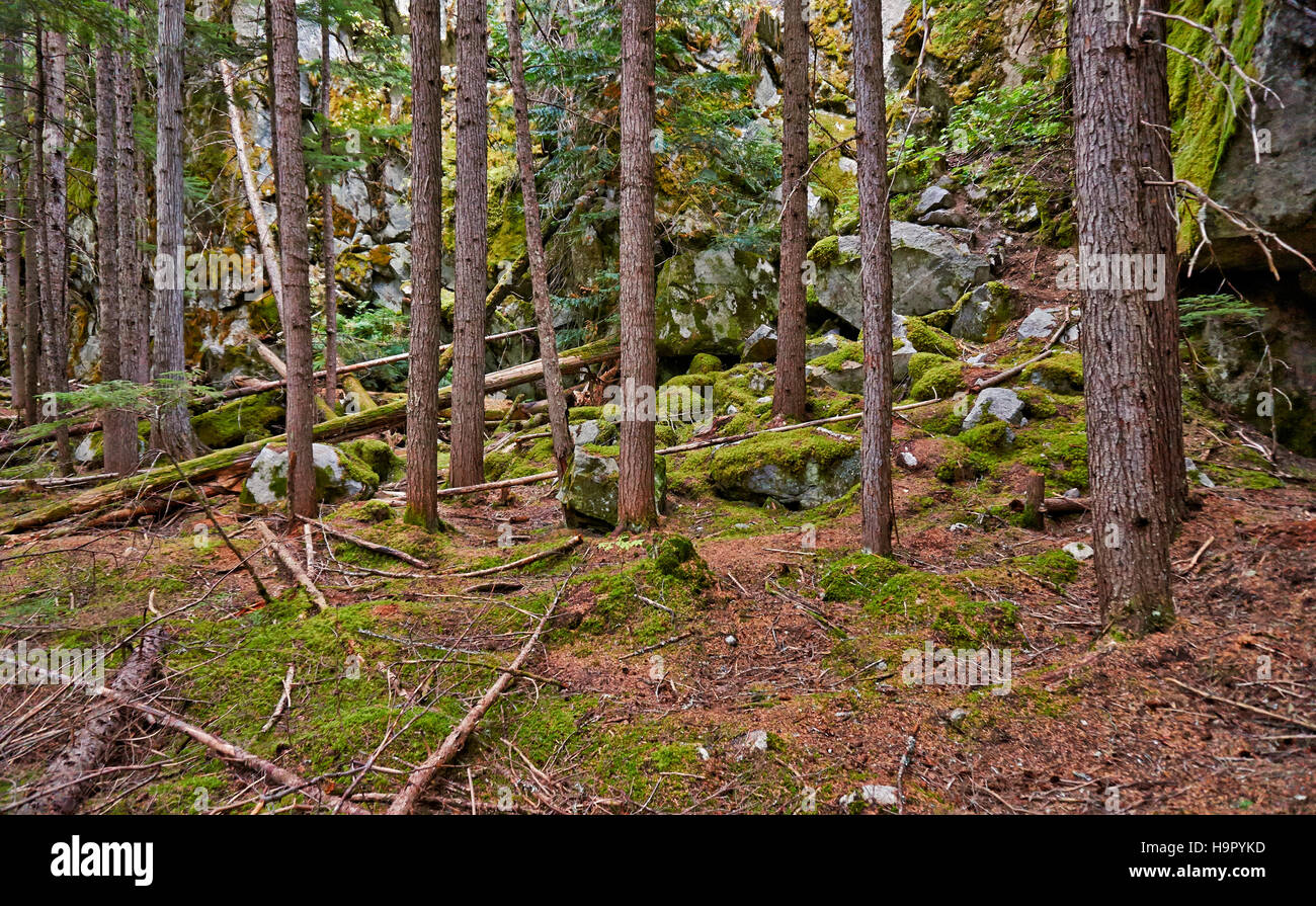trees in forest of Birkenhead Lake Provincial Park, British Columbia, Canada - Stock Image