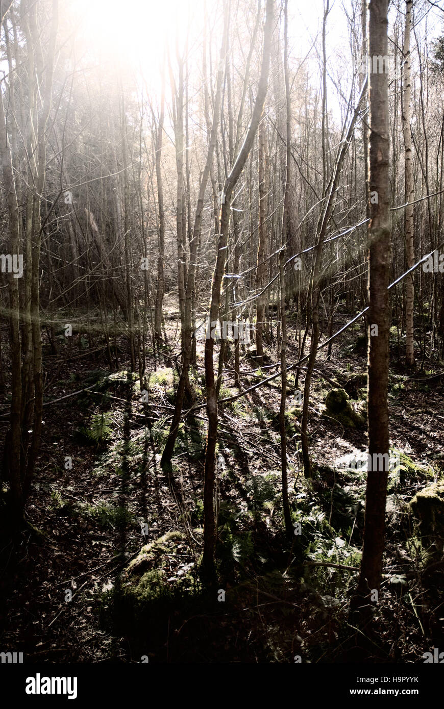 Sun shining through birch trees in Butterdean Wood, near Gladsmuir, East Lothian - Stock Image
