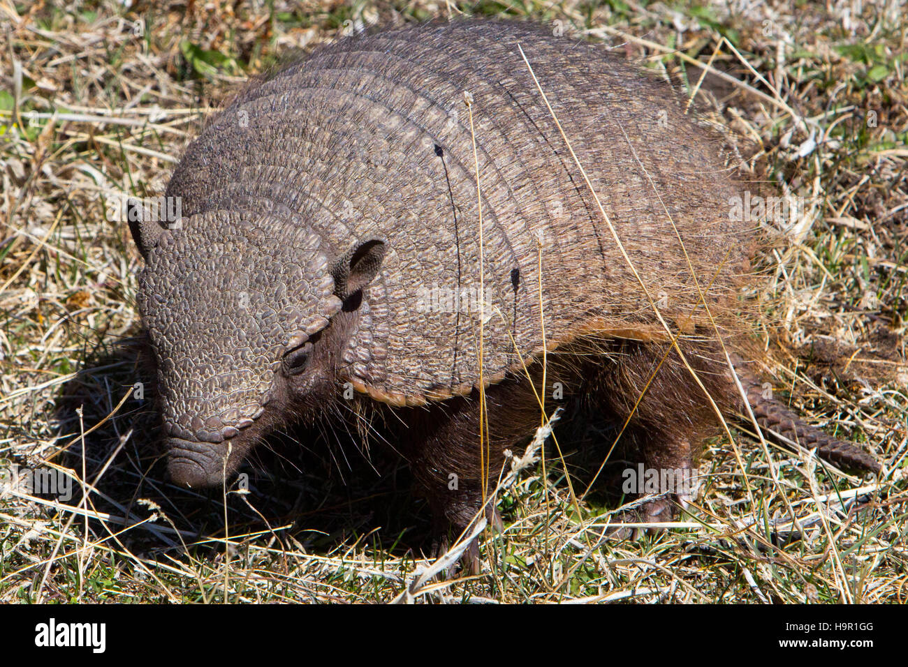 Hairy armadillo in Torres del Paine National Park, Chile - Stock Image
