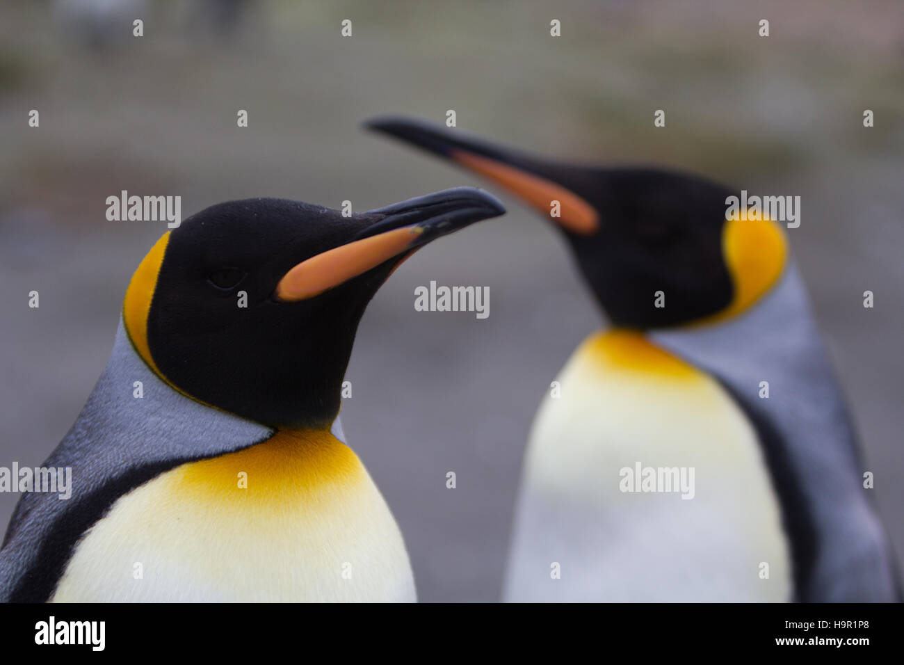 Two adult king penguins courting at South Georgia Island - Stock Image