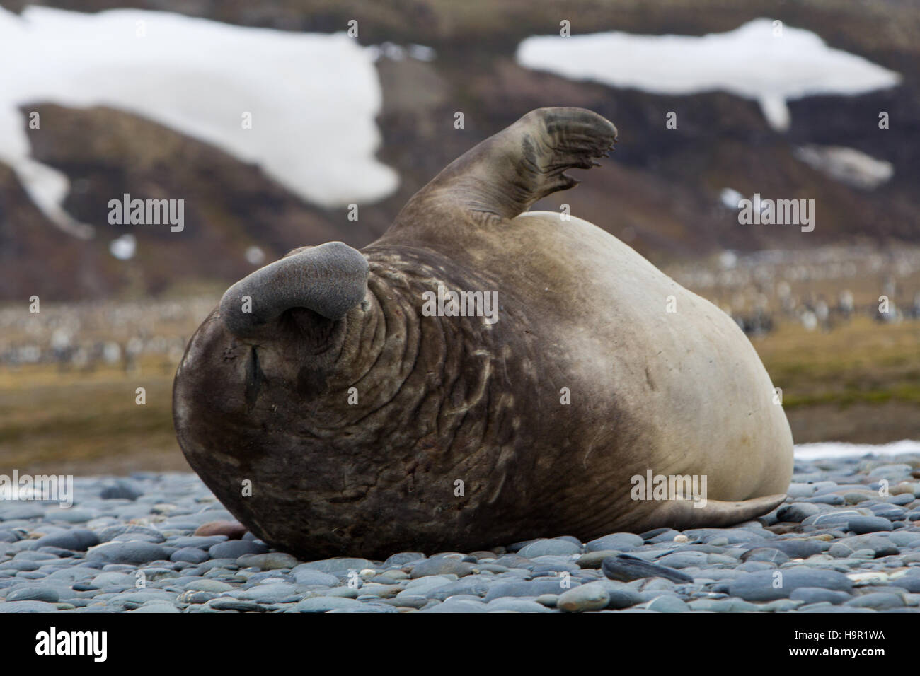 Male Southern elephant seals  at Stromness Bay, South Georgia Island - Stock Image