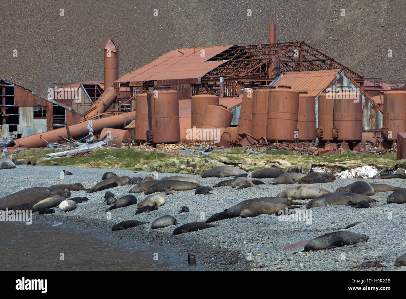 Southern elephant seals and Antarctic Fur seals in front of old whaling station at Stromness harbor, South Georgia - Stock Image